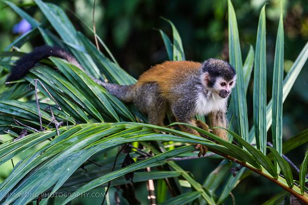 Squirrel monkey (titi), Manuel Antonio