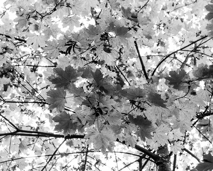 Autumn leaves, Vrelo Bosne