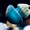 Blubber jelly, Monterey Bay Aquarium