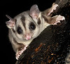 Sugar Glider, Lake Easham, North Queensland