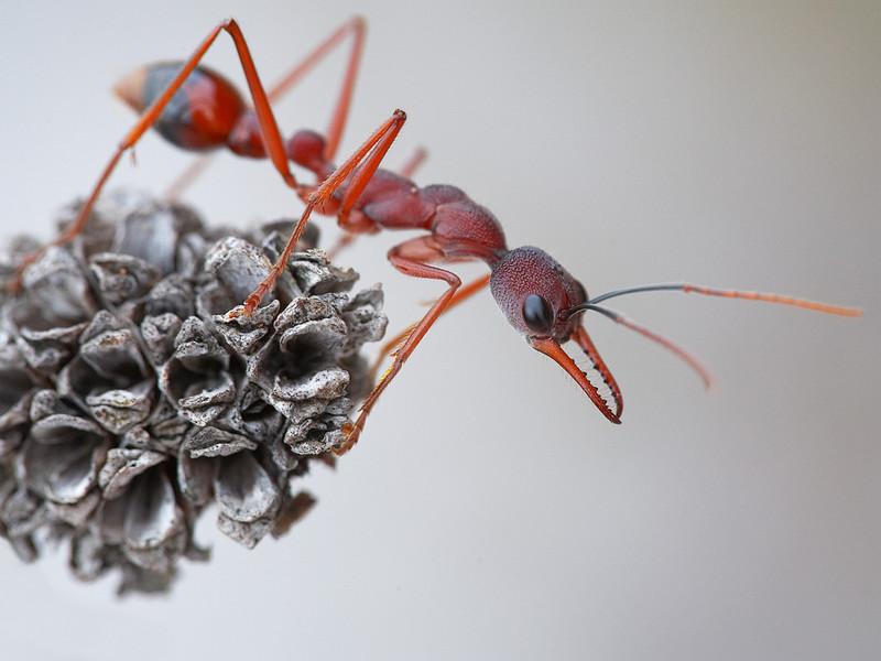 Red Bulldog Ant (Myrmecea brevinoda), Wilson's Promontory