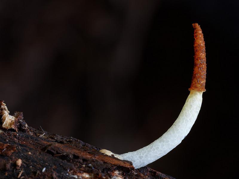 Mutinus boninensis