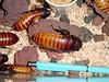 Madagascar cockroach, Gainseville FL, 1999