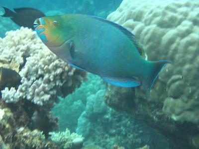 A Parrot Fish