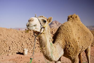 Camel overload of cuteness! In Wadi Rum, Jordan