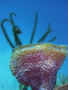 Pink Coral in Utila, Honduras