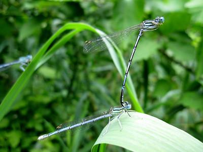 Mating Dragon Flies