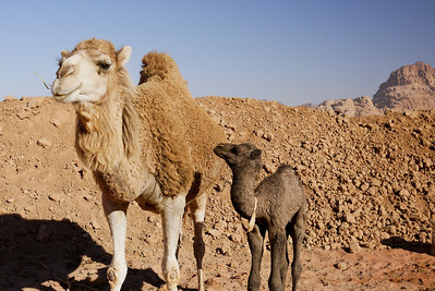 Mom and Baby camel cuteness in Wadi Rum, Jordan