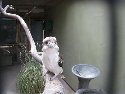 A Kookaburra