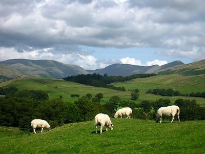 Sheep Pastures