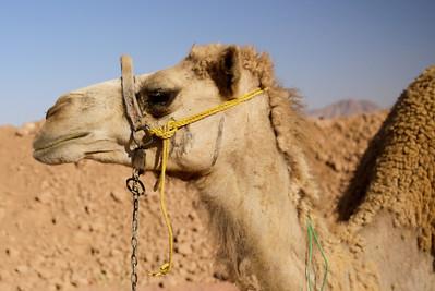 A camel portrait in Wadi Rum, Jordan