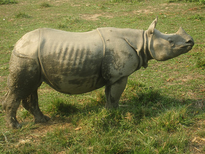 Proud one-horned rhinoceros, an endangered animal protected by the efforts at Chitwan National Park.
