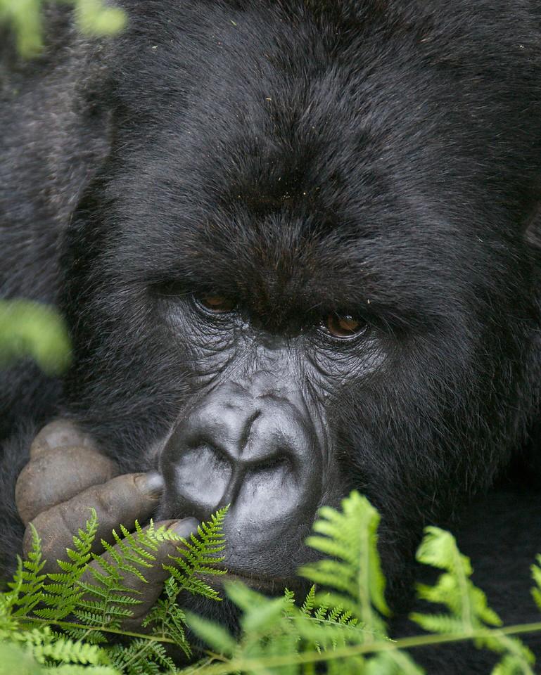 Rwanda Mountain Gorilla (Silverback)