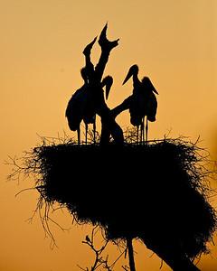 Jabiru Storks, Brazil