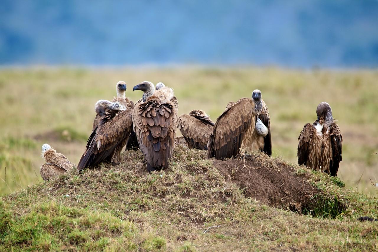 Vultures waiting their turn, Masai Mara, Kenya