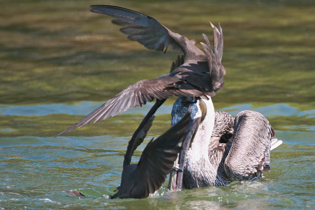 Noddy stealing small fish from pelican's beak