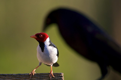 Yellow-Billed Cardinal