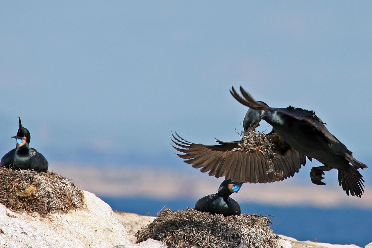 Cormorant, Monterey Bay