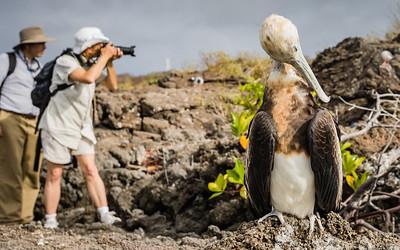 Rare giant frigate bird, Galapagos