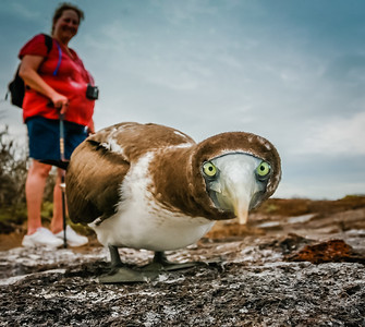 A Curious Juvenile Nazca Booby. Published in the Spring/Summer 2012 issue of Destinations magazine (New Zealand).