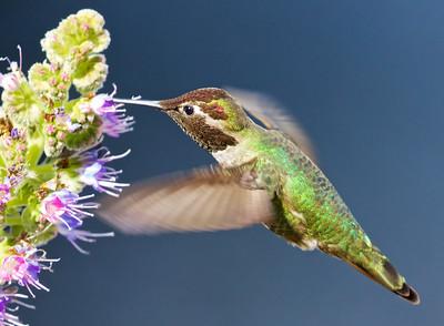 Anna's Hummingbird, Palo Alto