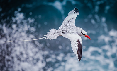 Tropic bird, Galapagos