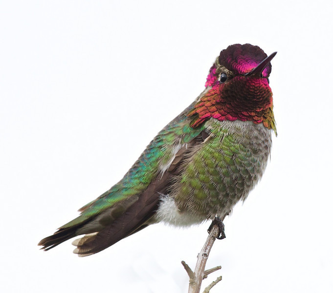 Everything I thought I knew about gorgets (the irridescent feathers around the male hummingbird's throat) is wrong. I thought the bird needed to face the sun for us to see the irridescence. Not true; on this completely overcast day (which provided a nice white backdrop; almost like I brought the bird into a studio with a light box) the colors still shine through; it turns out the hummingbird aims the colors at you.