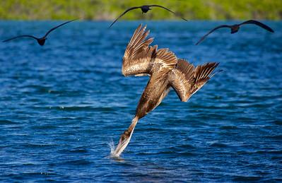 Pelican, Galapagos