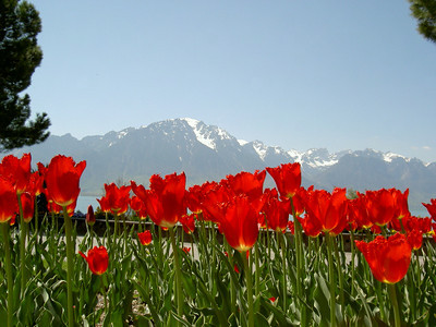 Tulips red Montreux Switzerland 2004