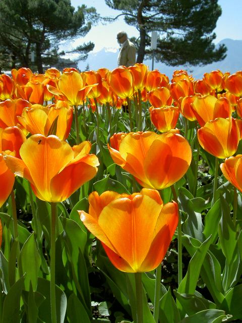 Tulips orange Montreux Switzerland 2004
