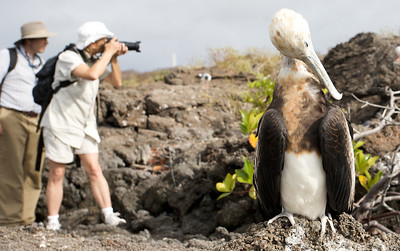 Photographing the rare giant frigate bird