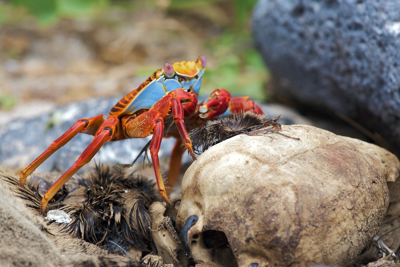 Sally Lightfoot crab traversing seal skull. Published in the Spring/Summer 2012 issue of Destinations magazine (New Zealand).