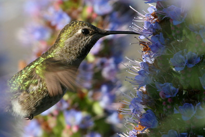 Hummingbird, Palo Alto Baylands Duck Pond. (Selected as one of the images in the first Google Pack Screensaver, 2006.)