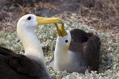 Albatross courtship. Published in the Spring/Summer 2012 issue of Destinations magazine (New Zealand).