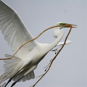 "Great Egret with nesting material. Guru's choice for gurushots.com theme ""Dominant White"""