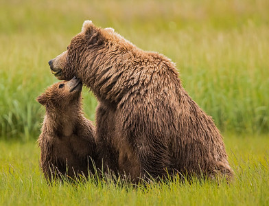 "Brown bear family, Katmai, Alaska. Guru's choice for gurushots.com theme ""WIldlife Animals."""