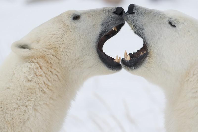 polar bear  5938