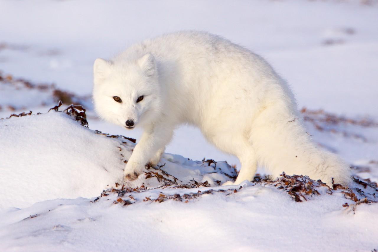 polar bear  5955