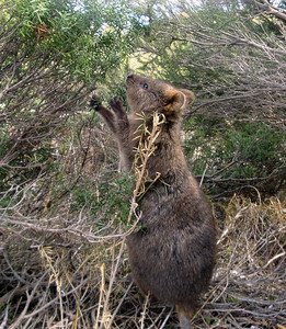 Quokka feeding Rottnest Is Australia 2009