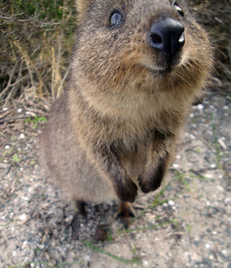 Quokka close-up Rottnest Is Australia 2009