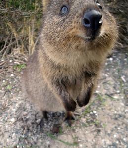 Quokka close-up Rottnest Is Australia 2009