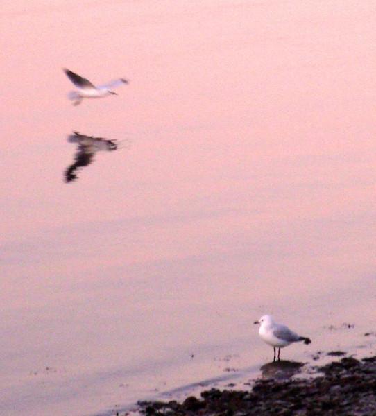 Swan river seagulls Perth Australia 2009