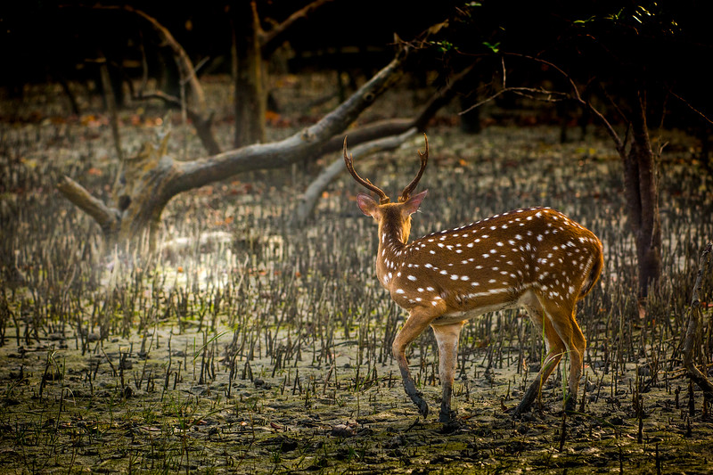 A nervous chital freezes... Filming in the Indian Sunderbans. The world's largest coastal mangrove, spanning 10,000 km2 across North East India and West Bangladesh. #BBCEarth #EarthOnLocation #Mangrove #Chital #Filming #Deer #India