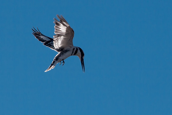 Pied Kingfisher hovering while looking for fish
