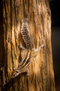 Palm squirrel on trunk
