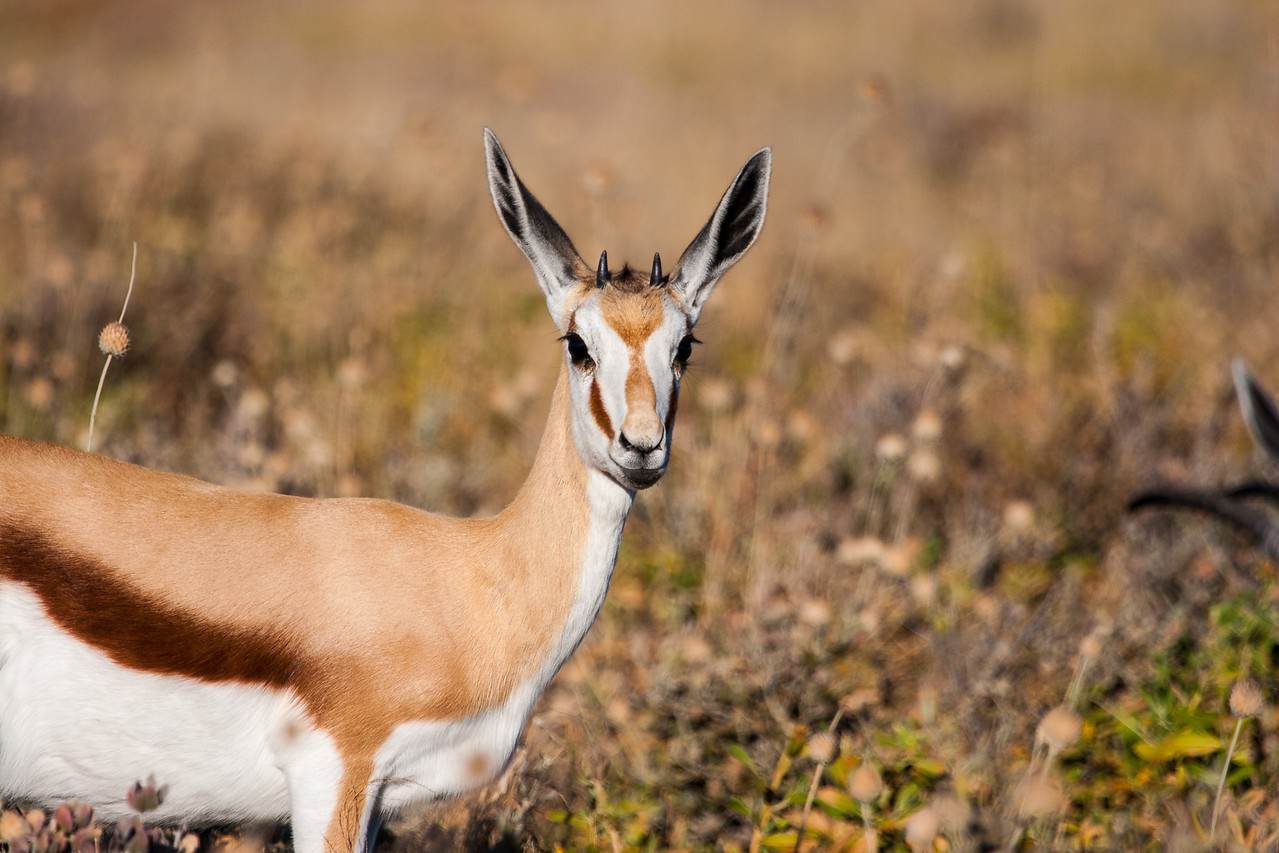 Yound male springbok