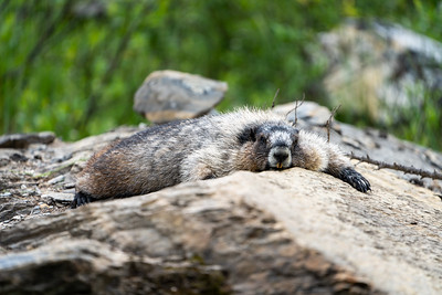 Marmot resting after a hard day's work