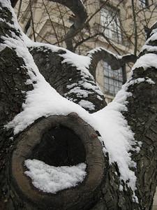 Snowy Tree Trunk - Washington DC