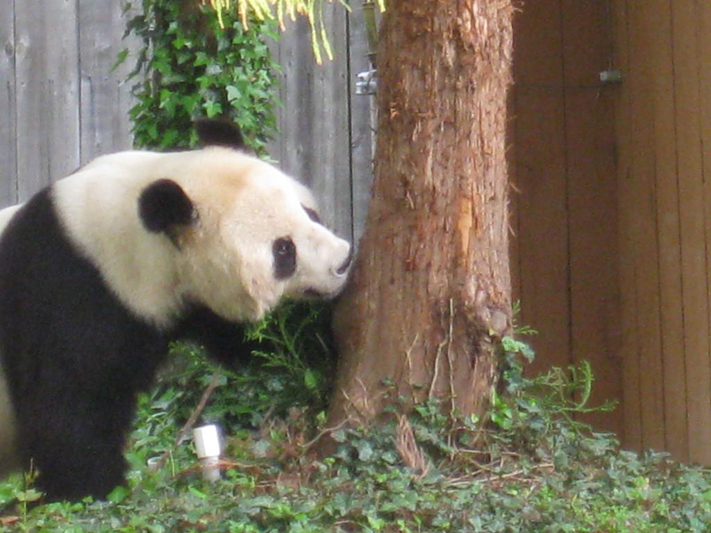 Giant Panda, National Zoo - Washington DC