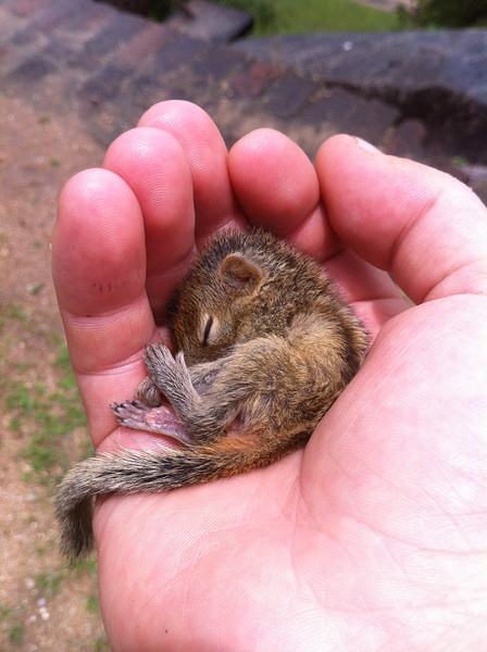 Rob - the world's cutest baby palm squirrel - curled up in my hand #Roboftheday please like his Facebook page: www.facebook.com/RobTheSquirrel